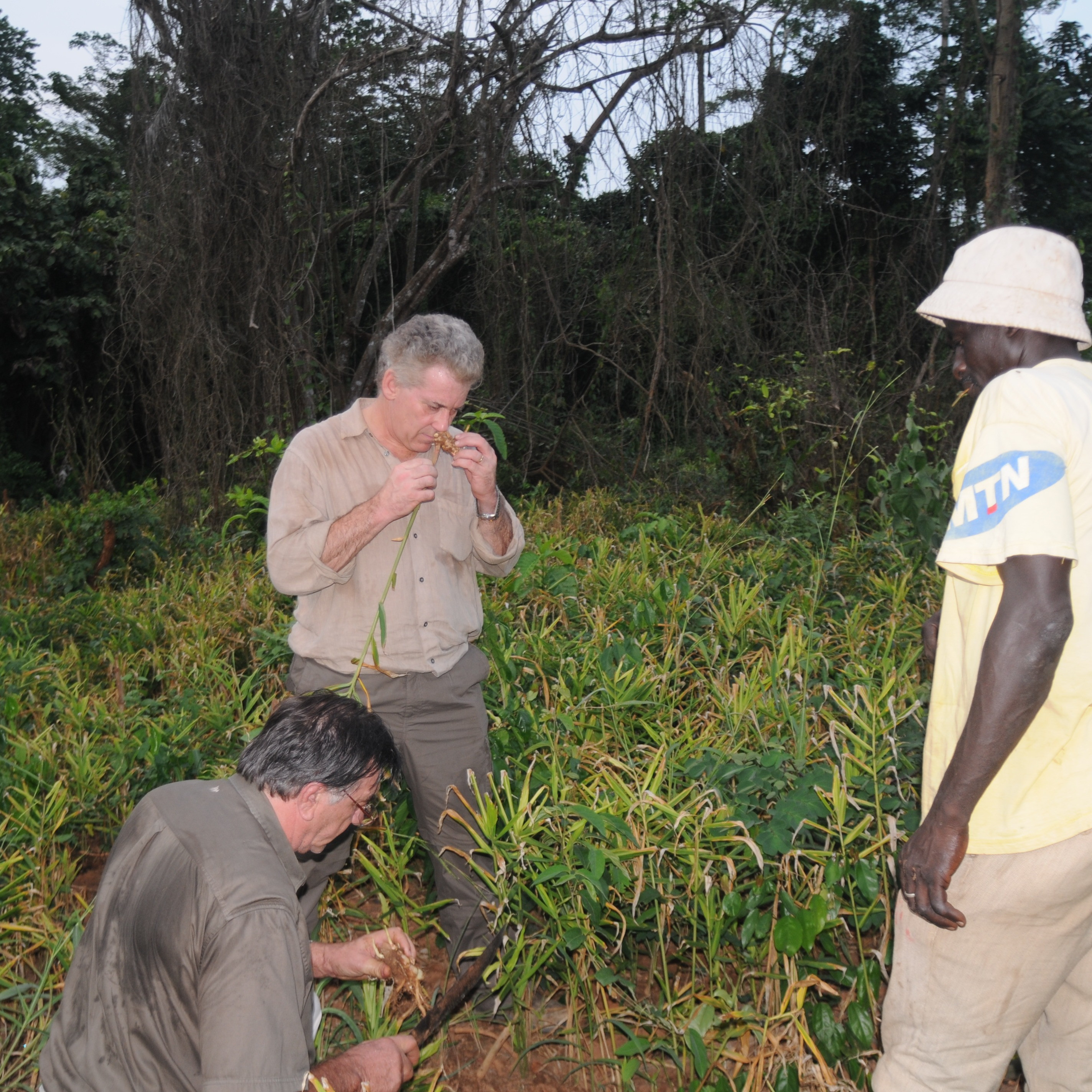Charles inspects ginger in Ivory Coast